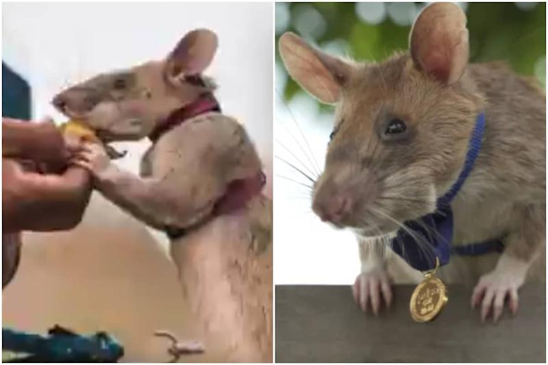 African 'Hero' Rat Gets a Gold Medal for Bravery for Sniffing Out Landmines in Cambodia