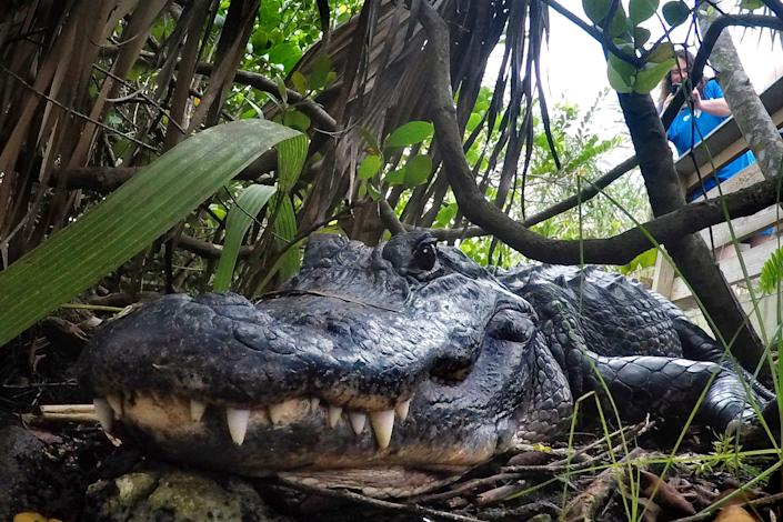 FILE - In this Friday, Oct. 18, 2019 file photo, an alligator rests in Everglades National Park, near Flamingo, Fla. Louisiana is suing California over the state's decision to ban the import and sale of alligator products, saying the ban will hurt an important state industry and ultimately could hurt the state's wetlands. In a lawsuit filed Thursday, Dec. 12, 2019,  Louisiana said the economy surrounding alligators has played a key role in bringing back the American alligator population and is an important factor in protection wetlands and other species besides alligators that depend on the wetlands. (AP Photo/Robert F. Bukaty, File)