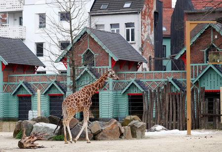 A giraffe is pictured in its enclosure at Antwerp's zoo