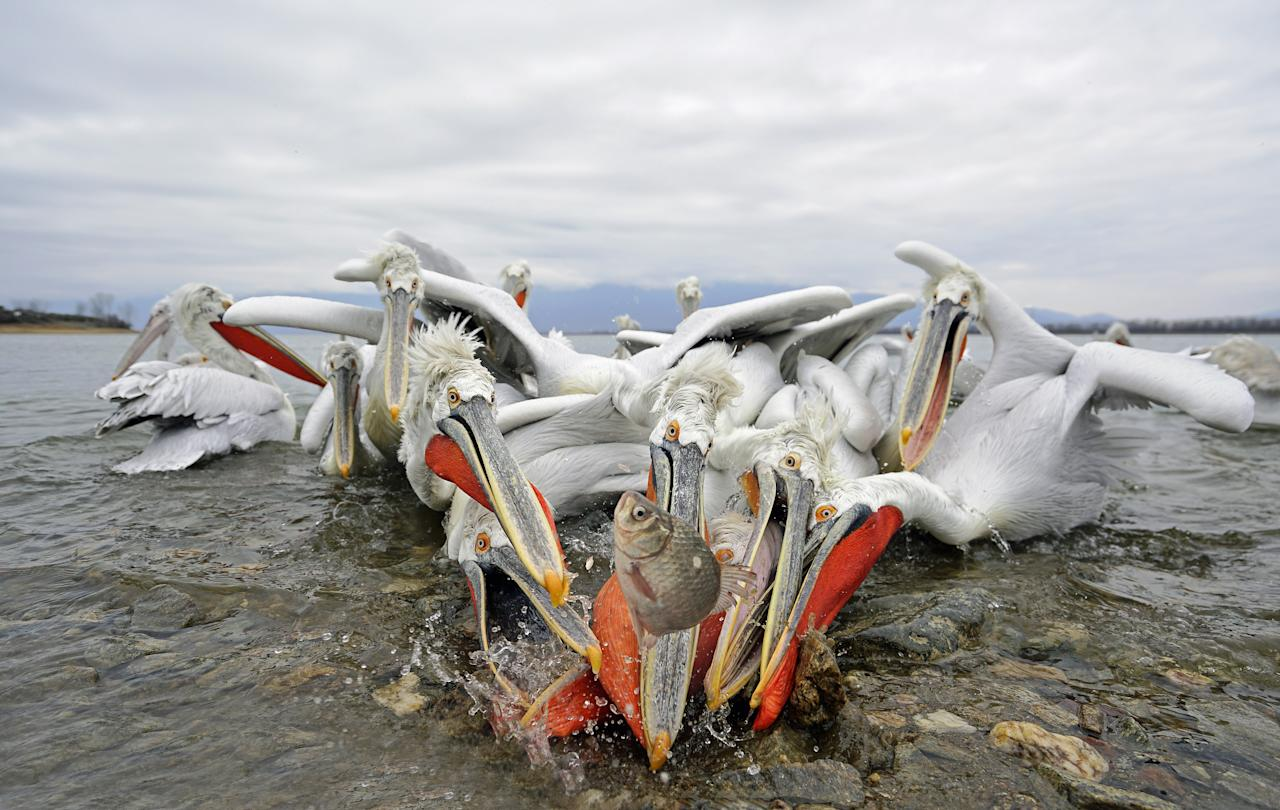 <p>Eight peckish pelicans battle over the same tiny carp in Greece. They are being fed by a local fisherman, as the lake has frozen over for the first time in over 10 years, which has led to the death of many pelicans due to starvation. (Photo: Julio Lozano/Caters News) </p>