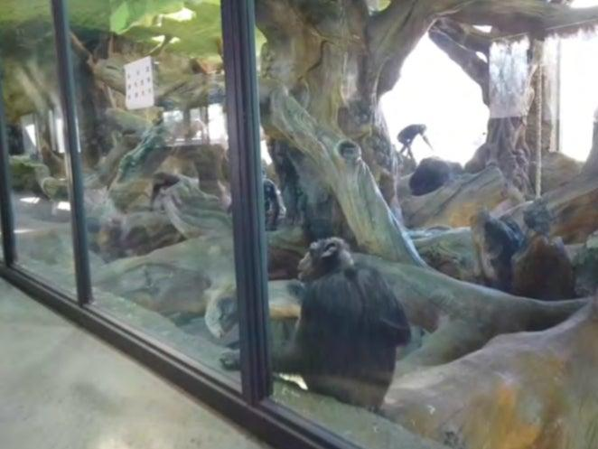 Chimpanzees in a glass-fronted enclosure after being exported from South Africa to a wildlife park in Beijing, China (Karl Ammann, 2019)