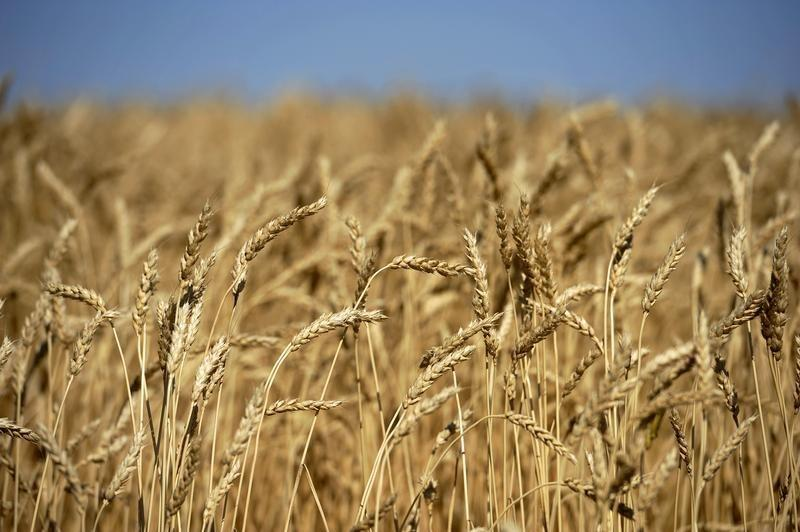A wheat crop ready for harvest are seen on the Canadian prairies near Taber