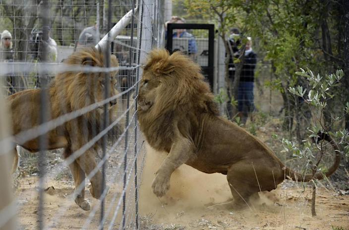 <p>Former circus lions plays after being released into an enclosure at Emoya Big Cat Sanctuary in Vaalwater, South Africa, May 1, 2016. <i>(Themba Hadebe/AP)</i></p>
