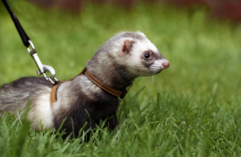 Ferret on a lead in grass