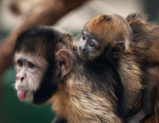 A newborn golden-bellied capuchin named Pinu'u sits on the back of his mother, Ibama, in their enclosure at the Cologne zoo in Germany, Thursday Aug. 11. 2011. Pinu'u was born on July 4, 2011.