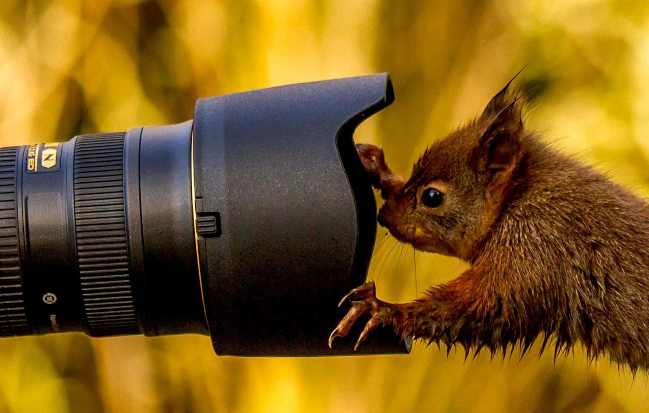 This is the hilarious moment a cheeky squirrel shows he's NUTS about photography - when he tries to take his own PICTURE. See NTI story NTISQUIRREL. In the incredible series of snaps, the red squirrel clambers over a tripod-mounted camera to tinker with the controls. Once everything is just right, the adorable creature jumps onto a tree stump and strikes a pose in front of the lens for a cheesy self-portrait. Keen wildlife photographer Dennis Greenwood, 50, captured the amazing shots while his friends were setting up their own equipment. He took the pictures in a garden near Hawes, North Yorks, after he was tipped off about the cheeky visitor. (Credit: Dennis Greenwood / newsteam).