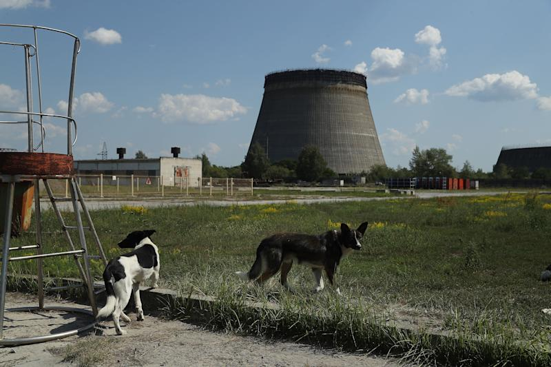 CHORNOBYL, UKRAINE - AUGUST 18: Stray dogs hang out near an abandoned, partially-completed cooling tower at the Chernobyl nuclear power plant on August 18, 2017 near Chornobyl, Ukraine. An estimated 900 stray dogs live in the exclusion zone, many of them likely the descendants of dogs left behind following the mass evacuation of residents in the aftermath of the 1986 nuclear disaster at Chernobyl. Volunteers, including veterinarians and radiation experts from around the world, are participating in an initiative called The Dogs of Chernobyl, launched by the non-profit Clean Futures Fund. Participants capture the dogs, study their radiation exposure, vaccinate them against parasites and diseases including rabies, tag the dogs and release them again into the exclusion zone. Some dogs are also being outfitted with special collars equipped with radiation sensors and GPS receivers in order to map radiation levels across the zone. (Photo by Sean Gallup/Getty Images)