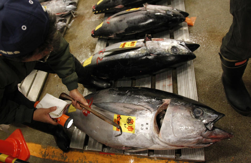 """<p> In this Jan. 5, 2013 photo, a prospective buyer inspects the quality of tuna before the first auction of the year at the Tsukiji Market in Tokyo. Catching bluefin tuna, called """"hon-maguro"""" here, is a lucrative business. A single full-grown specimen can sell for 2 million yen, or $20,000, at Tokyo's sprawling Tsukiji fish market. Japanese fishermen are vying with Korean, Taiwanese and Mexican fisherman for a piece of a $900 million wholesale market. (AP Photo/Shuji Kajiyama) </p>"""