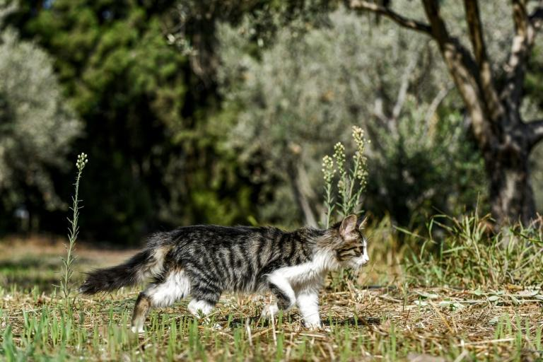 A kitten walks through olive trees in the village of Akaki in central Cyprus