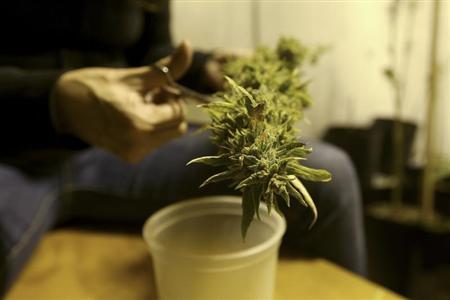 A marijuana home grower works on a marijuana flower in his home in this March 7, 2014 file picture