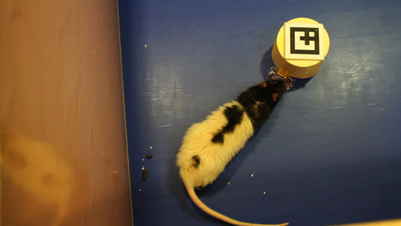A lab rat follows a small, human-controlled robot. Jelly in a tray attached to the robot entices the rat to follow the bot.