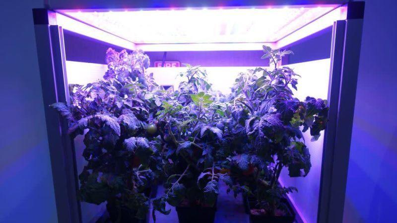 Tomatoes grow in an LED-lighted box, similar to what astronauts use to grow lettuce on the International Space Station, at at Fairchild Tropical Botanic Garden in Miami