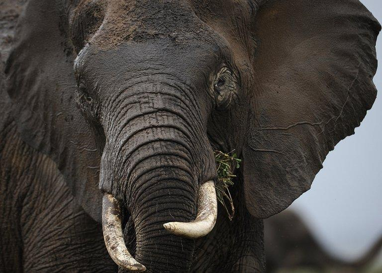 An elephant is pictured at the Amboseli game reserve, on December 30, 2012