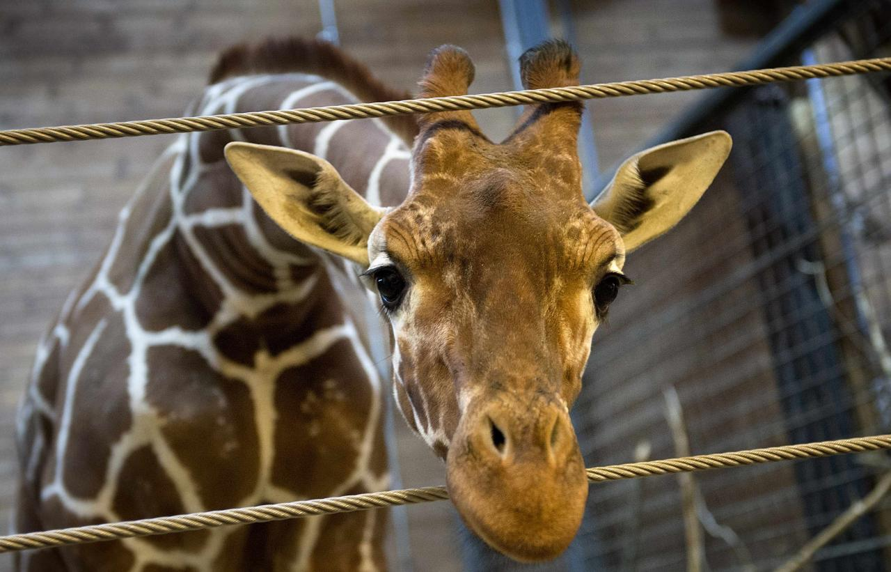 Marius the giraffe is pictured in Copenhagen Zoo February 7, 2014. The Copenhagen Zoo went ahead with a plan to shoot and dismember a healthy giraffe on Sunday and feed the 18-month-old animal's carcass to lions - an action the zoo said was in line with anti-inbreeding rules meant to ensure a healthy giraffe population. The giraffe, named Marius, was shot in the head and then cut apart in view of children, according to a video of the incident released by the Denmark-based production company Localize. The zoo's plans had sparked an outcry from animal rights activists. A British zoo had offered to give Marius a home and even started an online petition to save the giraffe, gathering more than 25,000 signatures. Picture taken February 7, 2014. REUTERS/Keld Navntoft/Scanpix Denmark (DENMARK - Tags: ANIMALS SOCIETY)