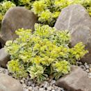 """<p>The RHS described this winner as a """"drought-tolerant, low-maintenance and hardy stonecrop perfect for small gardens and balconies.""""</p><p><a class=""""link rapid-noclick-resp"""" href=""""https://www.crocus.co.uk/plants/_/sedum-takesimense-atlantis-nonsitnal-pbr/classid.2000036134/"""" rel=""""nofollow noopener"""" target=""""_blank"""" data-ylk=""""slk:BUY NOW"""">BUY NOW</a> <strong>from £8.99, Crocus</strong></p>"""