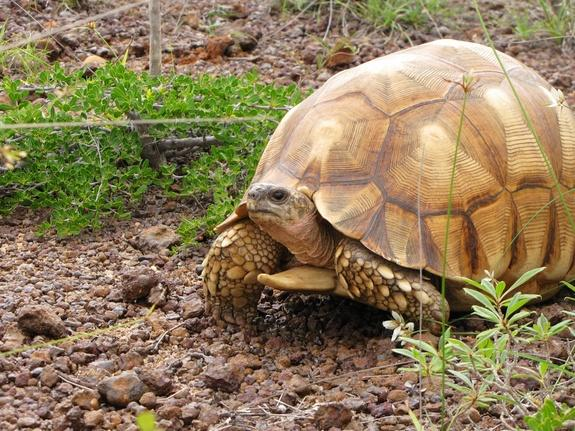 The ploughshare tortoise, found only in Madagascar, is being collected out of existence by illegal wildlife traffickers.