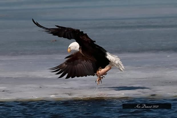 A bald eagle delighted people in Regina before it took off to continue its migratory path. Ken Dumont was one of many who took images of it before it left.  (Submitted by Ken Dumont - image credit)