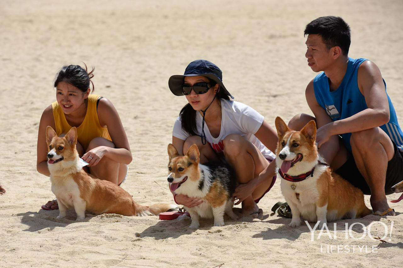 <p>Corgi owners preparing their dogs for the Royal Corgi Race at Tanjong Beach, Sentosa, on 2 December, 2017. (Photo: Yahoo Lifestyle Singapore/Bryan Huang) </p>
