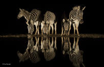 <p>For Charl, nothing beats the excitement and anticipation of sitting in wait at a waterhole during the dry season, knowing that anything can appear out of the darkness. The herd of zebra in South Africa's Zimanga Game Reserve surpassed his wildest wishes, and the still conditions resulted in a near-perfect reflection.<br><br><br>(Wildlife Photographer of the Year) </p>