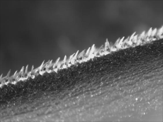 Shortfin mako shark scales which each measure about 0.2 millimeters in length are derived from tooth cells (Phil Motta – University of South Florida)