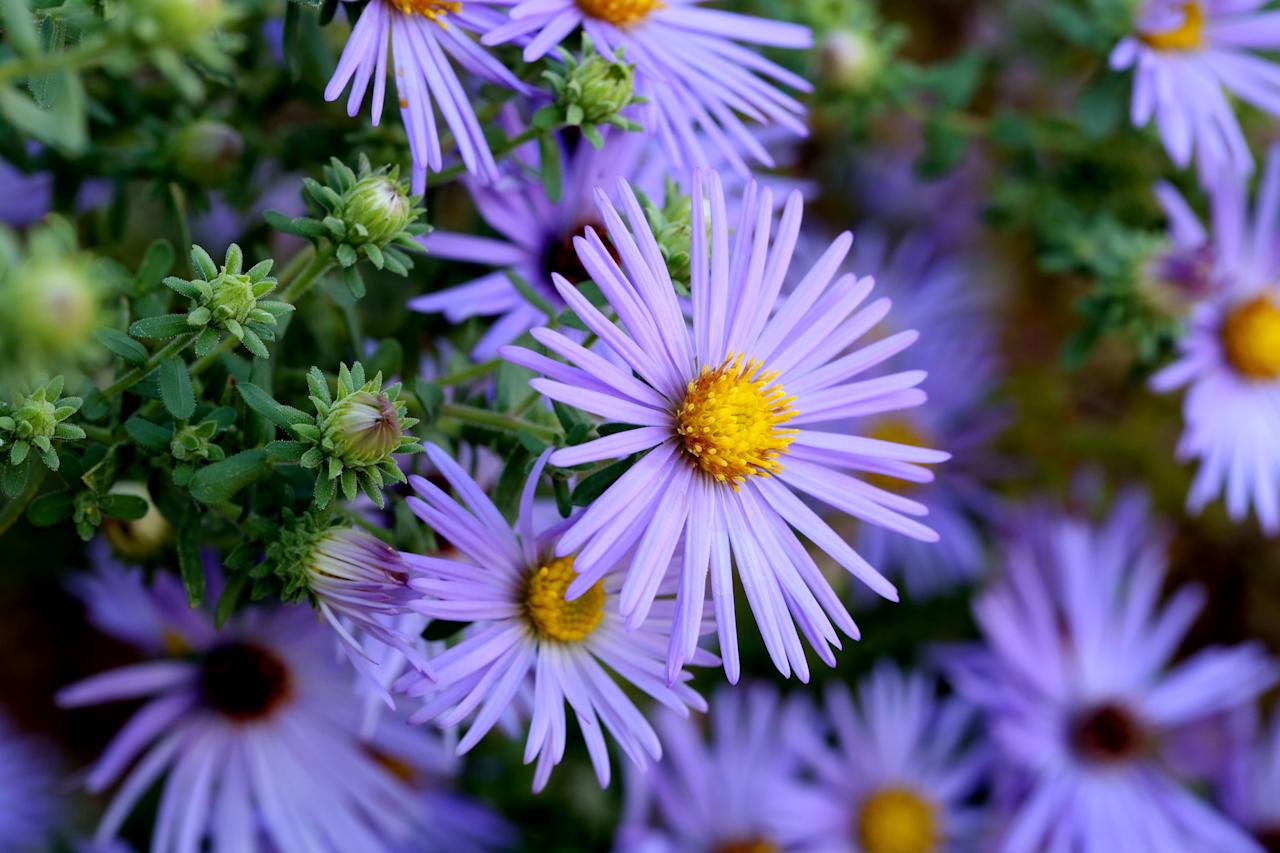 """<p><i><a href=""""https://www.southernliving.com/plants/Aster"""">Asteraceae</a></i></p> <p>Bees and butterflies both love asters, which bloom in late summer and early fall. <i>Aster x frikartii </i>'Flora's Delight' has long-blooming lilac-and-yellow flowers that appear throughout the season. </p>"""