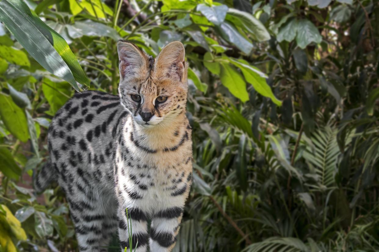A serval like the one seen here was shot and killed in Ohio after attacking a dog. (Philippe Clement/Arterra/Getty Images)
