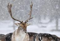 Deer stand as snow falls in Richmond Park in London, Britain, February 28, 2018. REUTERS/Toby Melville