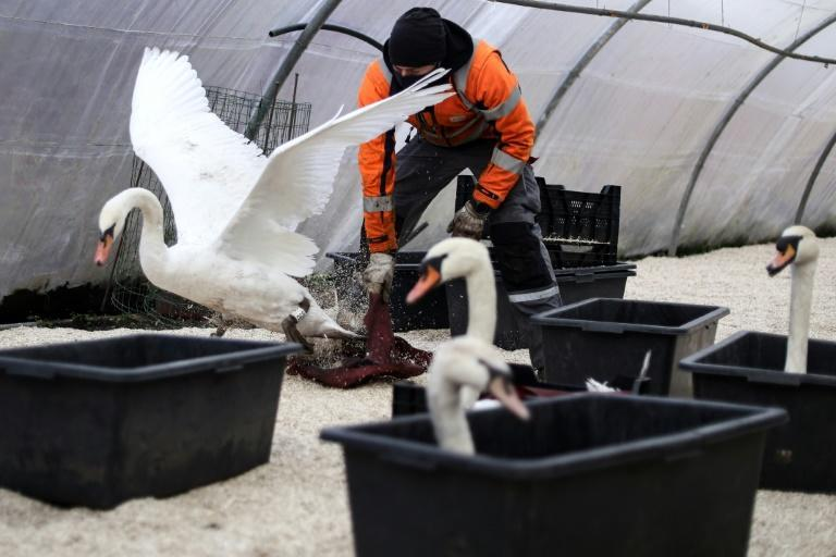 Bruges muncipal workers transfered the city's swans from the canals to a protected aviary