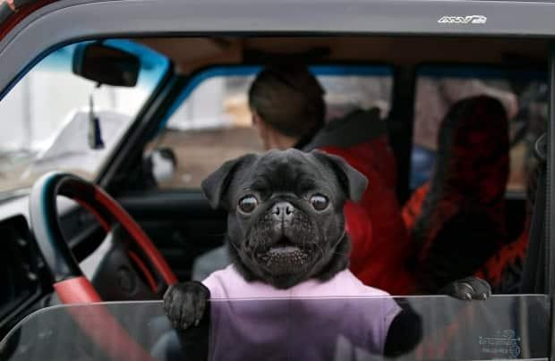 Nova Scotia RCMP says even when windows are down, pets can suffer when temperatures soar in parked vehicles. (The Canadian Press - image credit)