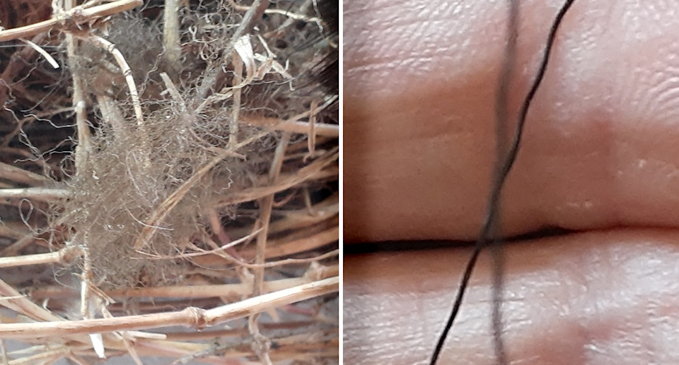 Human hair and nylon were also found in the bird's nest. Source: Supplied