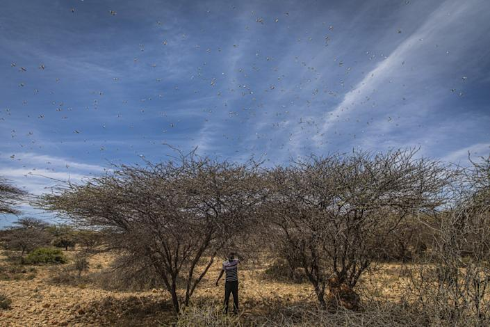 "Locusts feed on thorn trees in the Sool region of Somalia. <span class=""copyright"">(Will Swanson / For The Times)</span>"