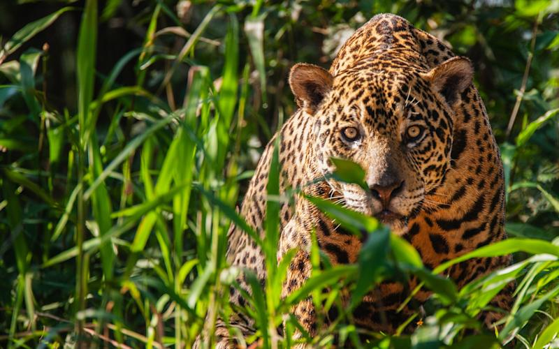 The Pantanal has grown from being an off-beat adventure travel option to become a mainstream holiday experience - getty