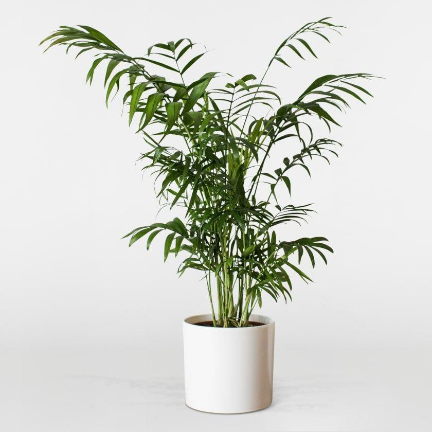 "<h3><a href=""https://www.patchplants.com/gb/en/plants/parlour-palm-27/?variant=90&slider_ref=1841&gclid=EAIaIQobChMI846YzZSv4wIVSyrTCh0yFgL8EAQYASABEgJBivD_BwE"" rel=""nofollow noopener"" target=""_blank"" data-ylk=""slk:The Patch Parlor Palm"" class=""link rapid-noclick-resp"">The Patch Parlor Palm</a></h3><p>This Parlour Palm needs to be watered once a week, so go ahead and add the weekly task to your Google calendar. It's not suited for direct sunlight so it should be fine among fluorescent office lighting.</p><p><strong>Size:</strong> 40 - 50cm</p><br><br><strong>Patch</strong> Parlour Palm, $7.5, available at <a href=""https://www.patchplants.com/gb/en/plants/parlour-palm-27/?variant=90&slider_ref=1841&gclid=EAIaIQobChMI846YzZSv4wIVSyrTCh0yFgL8EAQYASABEgJBivD_BwE"" rel=""nofollow noopener"" target=""_blank"" data-ylk=""slk:Patch"" class=""link rapid-noclick-resp"">Patch</a>"