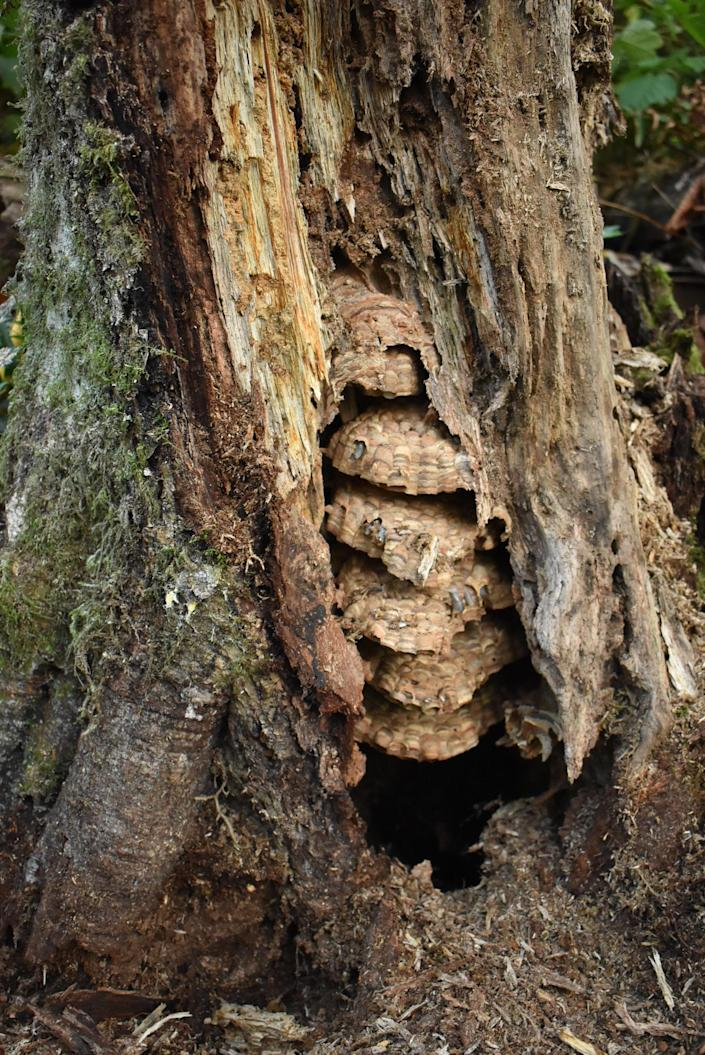 The Asian giant hornet nest before it was eradicated on August 25, 2021. / Credit: The Washington State Department of Agriculture