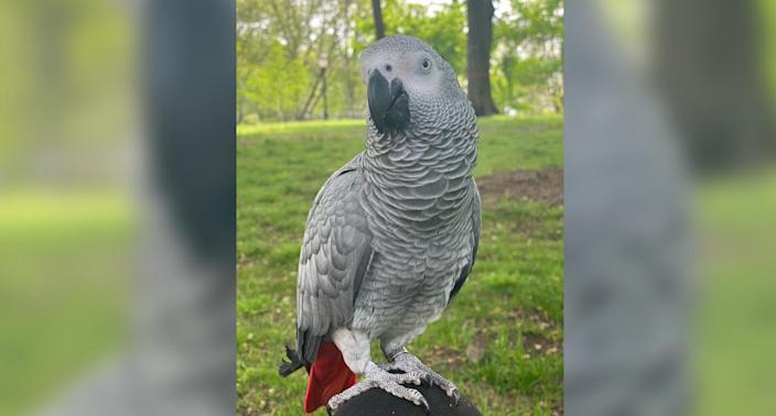 Zoya, a 2-year-old African grey parrot went missing in New York City and her owner miraculously found her with help from a stranger. (Photo: Courtesy of Lenah Alshowaiman)