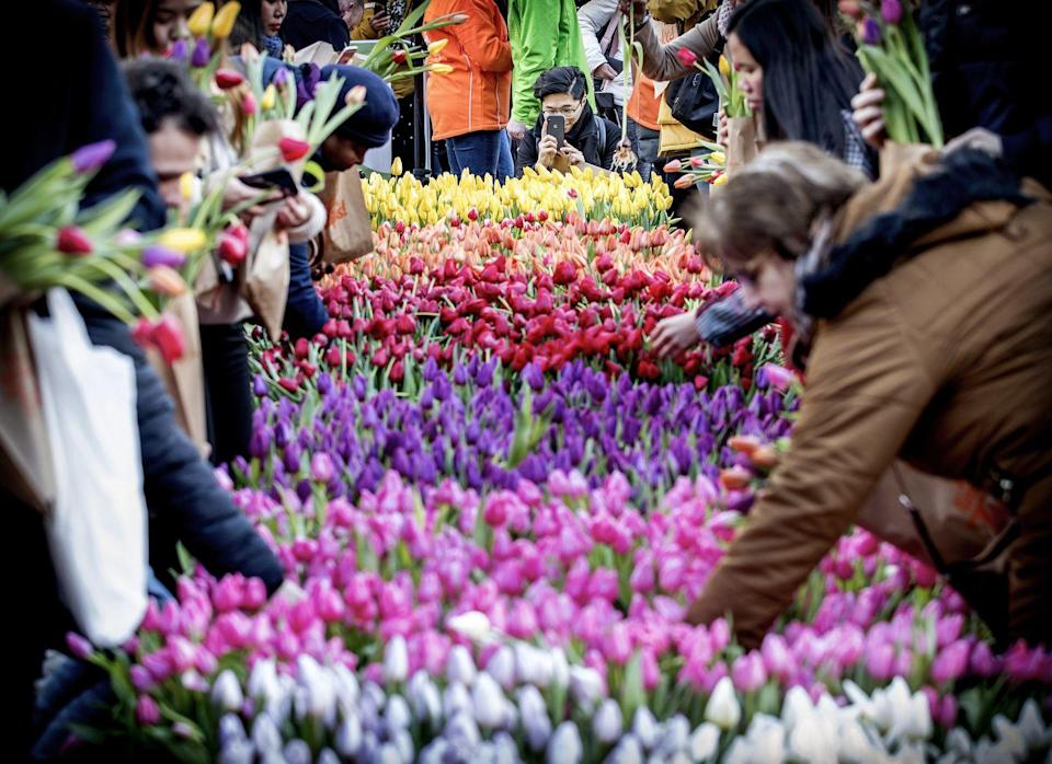 <p>Visitors pick up tulips in Amsterdam during the National Tulip Day</p>