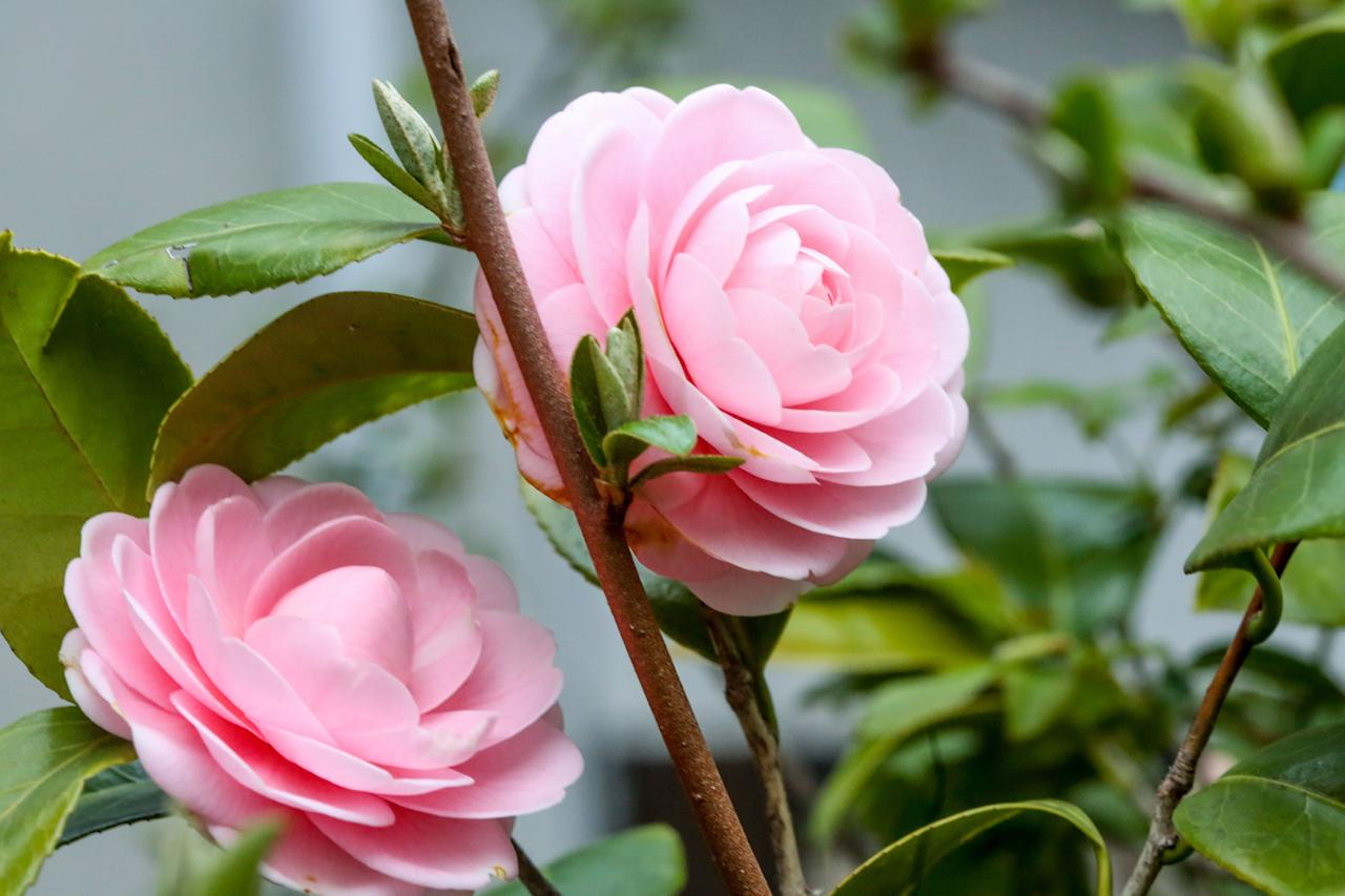 """<p><a href=""""https://www.southernliving.com/plants/camellia"""">Camellia</a></p> <p>While camellias are most often seen planted in big spaces, they can also thrive in containers. They bloom in a variety of forms and colors and can be counted on for cold-weather color. Once they become too big for their containers, they can be transplanted in yards and gardens.</p>"""