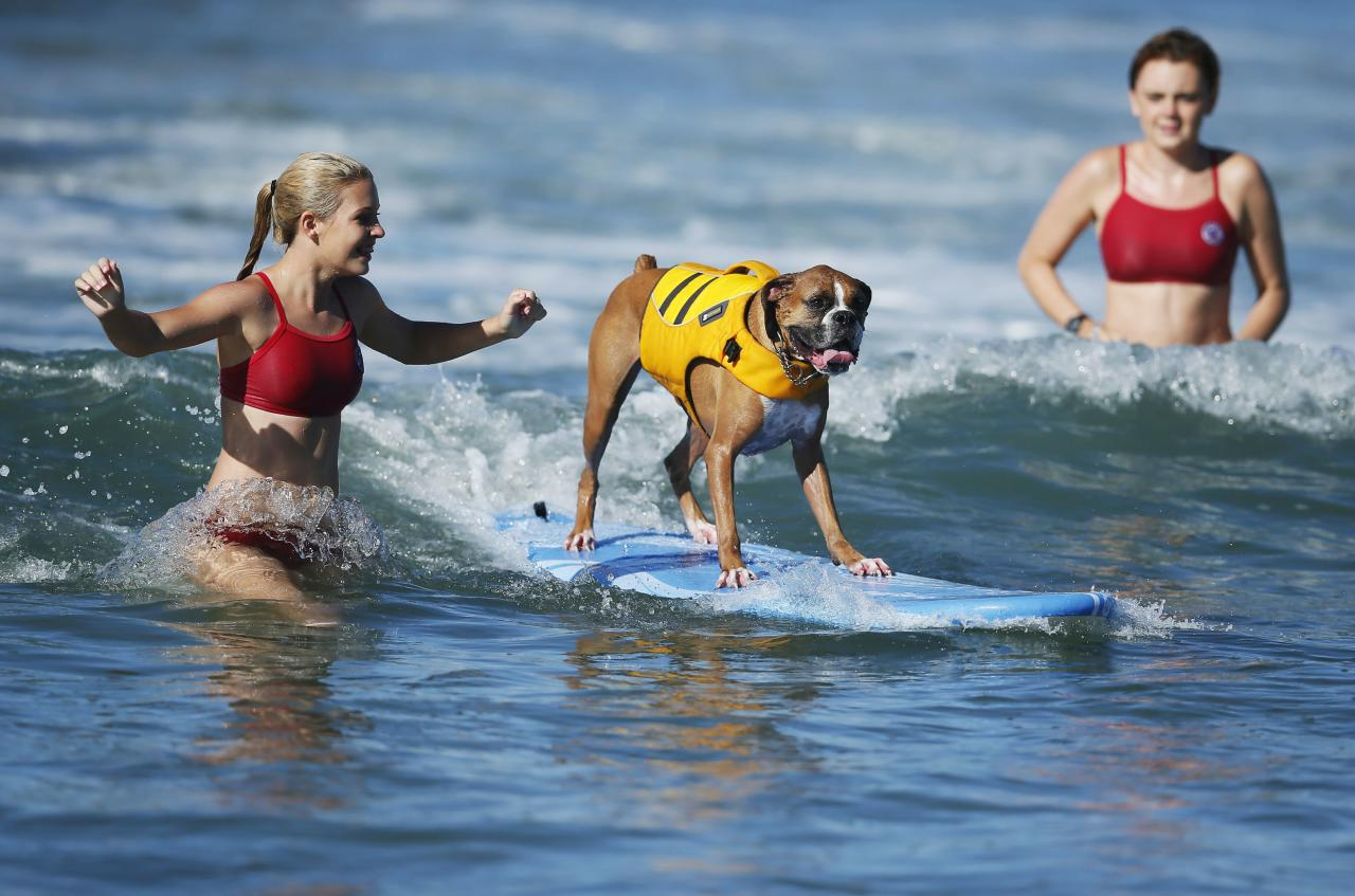 A dog competes in the Surf City surf dog competition in Huntington Beach, California, September 29, 2013. REUTERS/Lucy Nicholson (UNITED STATES - Tags: SPORT ANIMALS SOCIETY)