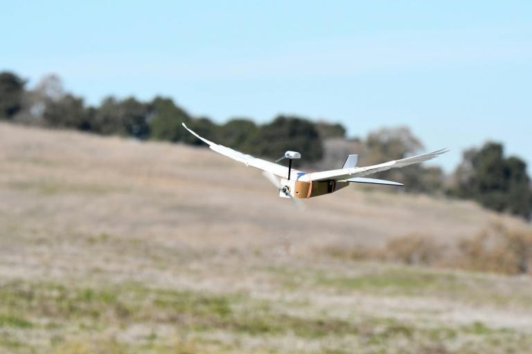 Researchers at Stanford University said they had studied the wings of common pigeon cadavers, then used their findings to build a radio-controlled robot with wings made with 40 real feathers (AFP Photo/HO)