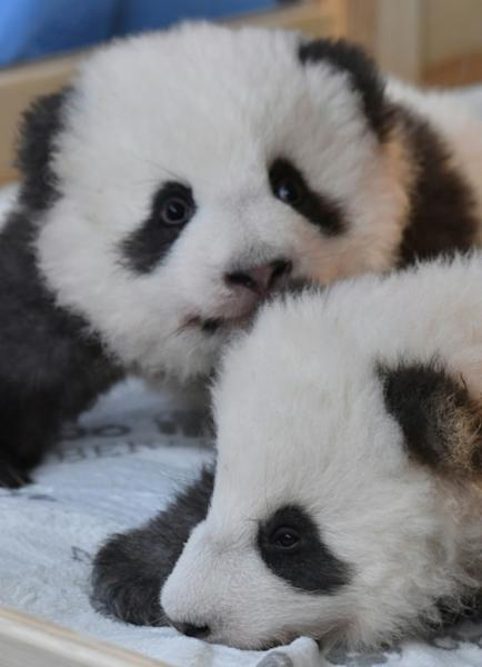 """The cubs """"Meng Yuan"""" (L) and """"Meng Xiang"""" were named 100 days after their birth in keeping with Chinese tradition"""