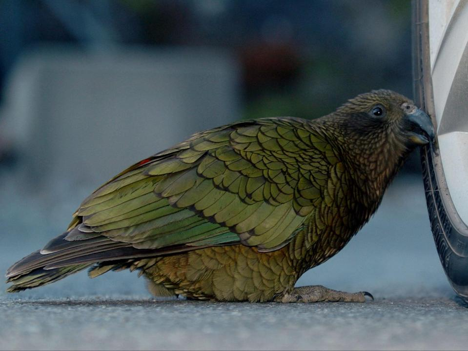 <p>A Kea (Nestor Notabilis) pecks at a car tyre in North Canterbury on the South Island of New Zealand</p> (Ross Land/Getty)