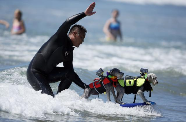 A man surfs with two dogs on his board during the Surf City surf dog competition in Huntington Beach, California, September 29, 2013. REUTERS/Lucy Nicholson (UNITED STATES - Tags: SPORT ANIMALS SOCIETY)