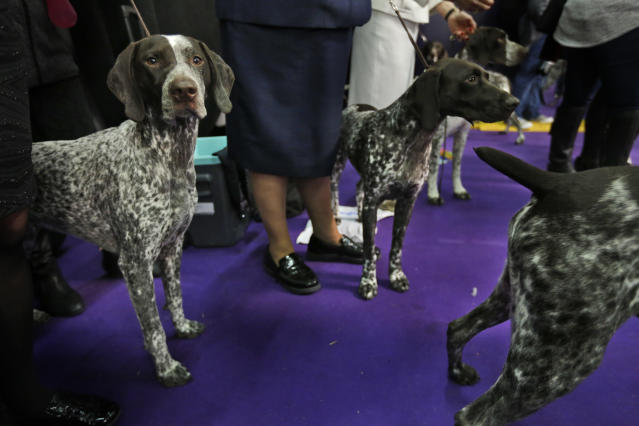 FILE -- German shorthaired pointers wait to enter the ring during the 142nd Westminster Kennel Club Dog Show in New York, Tuesday, Feb. 13, 2018. American Kennel Club rankings show Labs remain the country's most popular purebred dog for a 27th year. The bulldog ranks fifth. Sixth through 10th are the beagle, the poodle, the Rottweiler, the Yorkshire terrier and the German shorthaired pointer, which cracked the top 10 for the first time. (AP Photo/Seth Wenig)