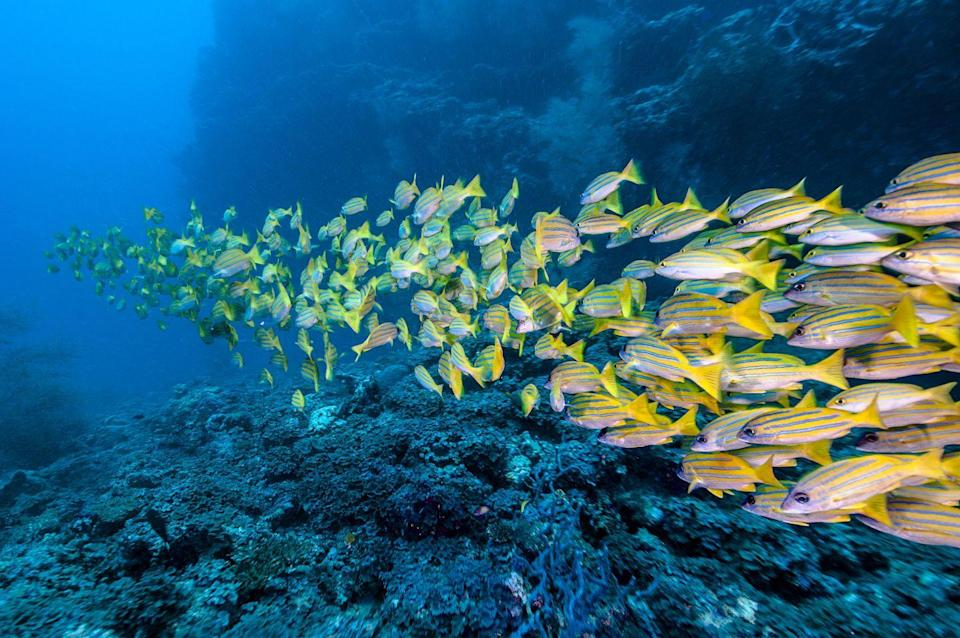 <p>A shoal of bluestripe snapper fish travel neatly in a line formation.</p>
