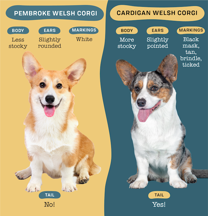 Infographic that compares the differences between the Pembroke Welsh Corgi and the Cardigan Welsh Corgi