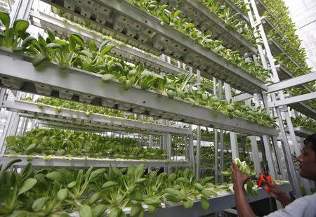 A worker harvests fresh produce from a tower at Sky Greens vertical farm in Singapore