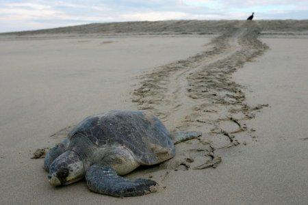 FILE PHOTO: File photo of an Olive Ridley Sea Turtle (Lepidochelys olivacea) leaving tracks on the sand after laying its eggs as a vulture watches it on the Escobilla beach, Mazunte, November 18, 2006. REUTERS/Tomas Bravo (MEXICO)/File Photo