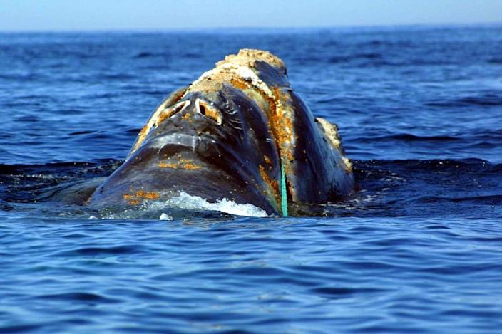 This endangered North Atlantic right whale is entangled in heavy plastic fishing link off Cape Cod, Massachusetts (AFP Photo/)