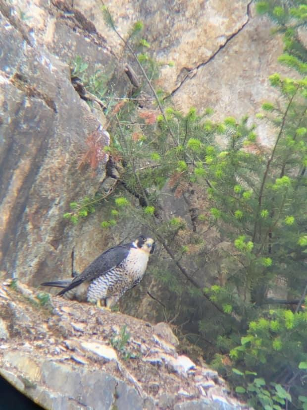 A peregrine falcon photographed on a rocky ledge at an active quarry on Quadling Road Abbotsford in May 2021. (Chris Kitt - image credit)