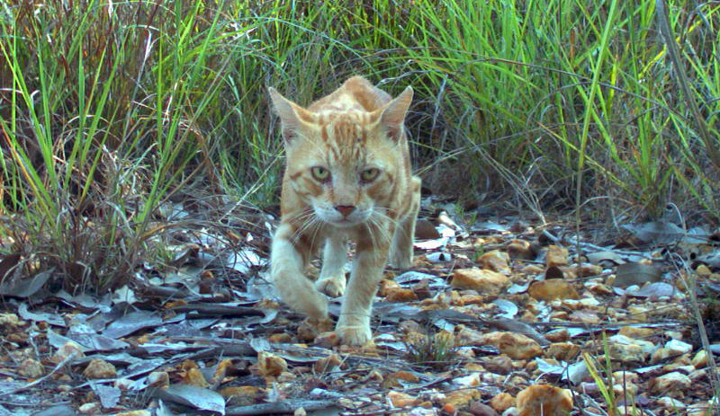 An undated handout photo taken in November 2010 and released by the Charles Darwin University on June 4, 2014 shows a feral cat in the Northern Territory (AFP Photo/)